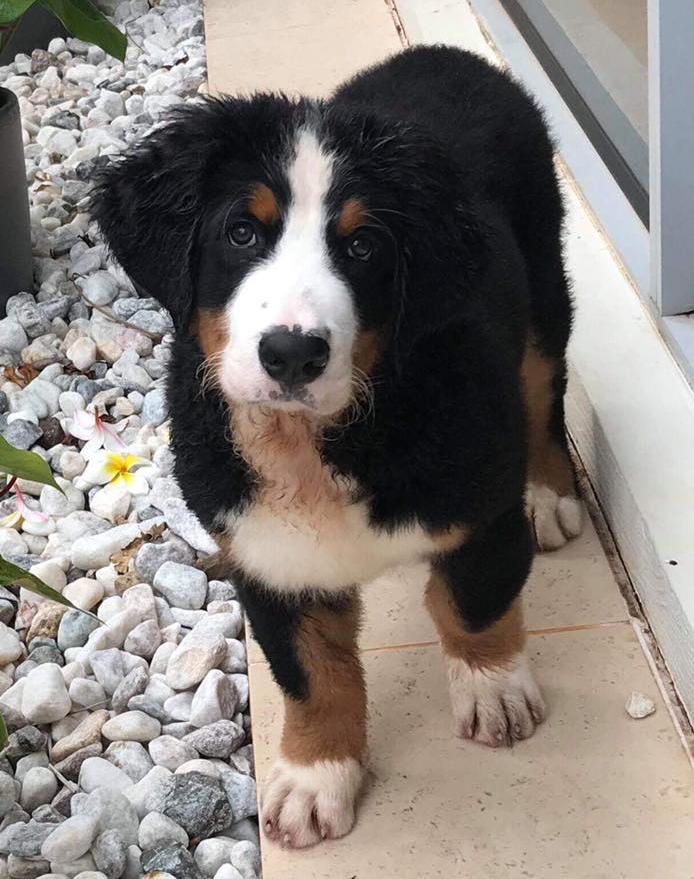 Bernese puppy Angel