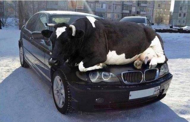 cow on car hood