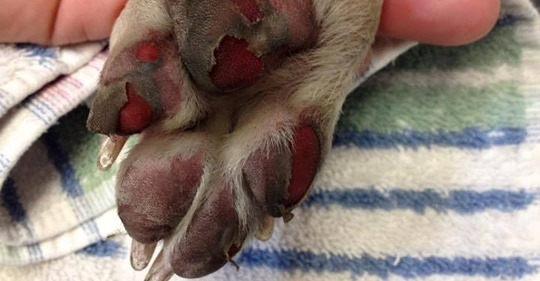 Dog's foot burned by walking on hot surface